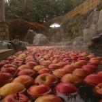 露天りんご風呂毎年、11月26日の前後2~3日開催します。男女各露天風呂に、地元のりんごを浮かべます。