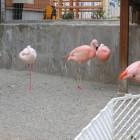 【フラミンゴ舎】「ヨーロッパフラミンゴ」体の羽は白っぽく、足はピンク色。 「チリフラミンゴ」体は淡いピンク色で脚の真ん中の関節と水かきもピンク色をしている。