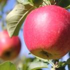りんご狩り/梨狩り 大人¥650子ども¥300 青空の下で頬ばる、もぎたての果物の味は最高です。9月~10月は秋映、シナノスイート、シナノゴールド、ひろさきふじ、陽光(写真)などいろんな品種のりんごが楽しめます。子ども料金は3歳以上小学校に上がるまでとします。(小学生は大人と同じです)