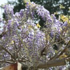 【藤棚や桜】 藤や八重桜、御衣黄桜も植えられています。 天然記念物ギフチョウの生息地でもあります。
