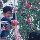 【りんごの木オーナー】西日をたっぷり浴びたりんごは旨さも格別!つがる ¥19800陽 光 ¥22800ふ じ ¥23000募集〆切は毎年3月末日です。ゴールデンウィークにはオーナーになる木を選ぶりんご村開園式があります。