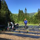 保存会のみなさんと、清内路かぼちゃを使っている方たちが集まって、いっしょに定植作業をします。
