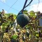 8月末から清内路かぼちゃの収穫が始まります。着果日により収穫時期もかわります。