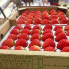 7月から11月まで使っている夏苺。サマープリンセスは秋が深まるごとに甘味が増していきます。