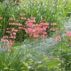 大池周辺で見られるクリンソウ