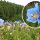 キャンプ場よりさらに2kmほど奥へ行くと、幻の花と呼ばれる「ヒマラヤの青いケシの花」を見ることができます。6月~7月上旬